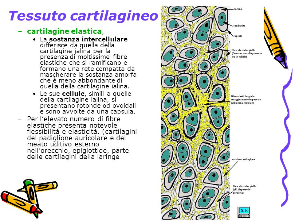 Tessuto cartilagineo cartilagine elastica,