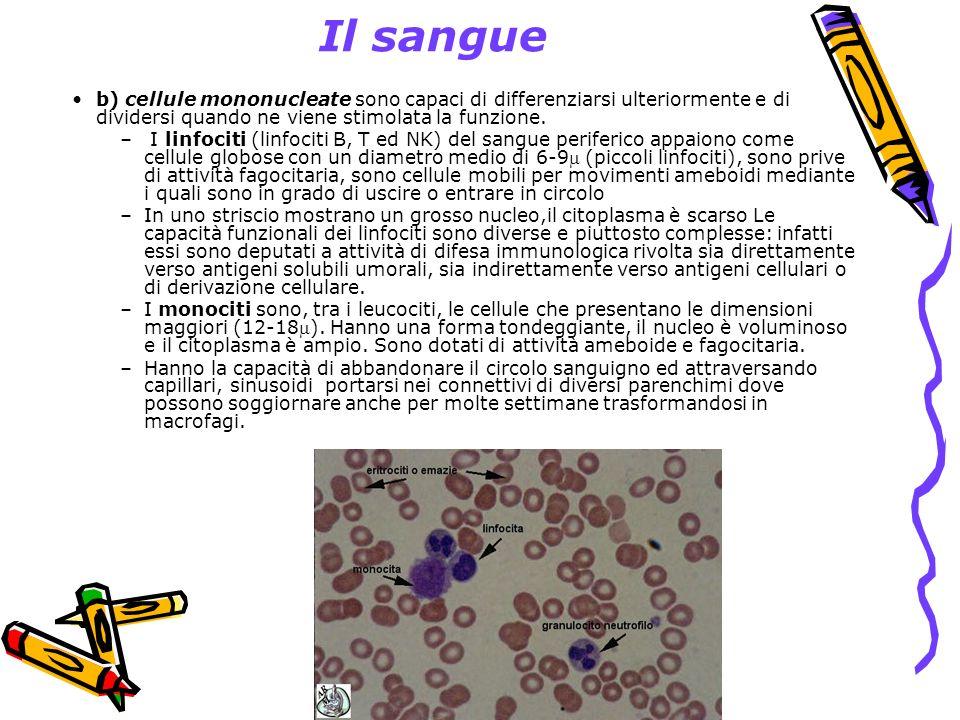 Il sangue b) cellule mononucleate sono capaci di differenziarsi ulteriormente e di dividersi quando ne viene stimolata la funzione.
