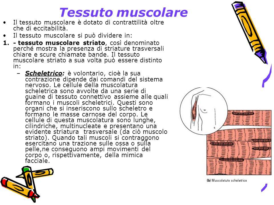 Tessuto muscolare Il tessuto muscolare è dotato di contrattilità oltre che di eccitabilità. Il tessuto muscolare si può dividere in: