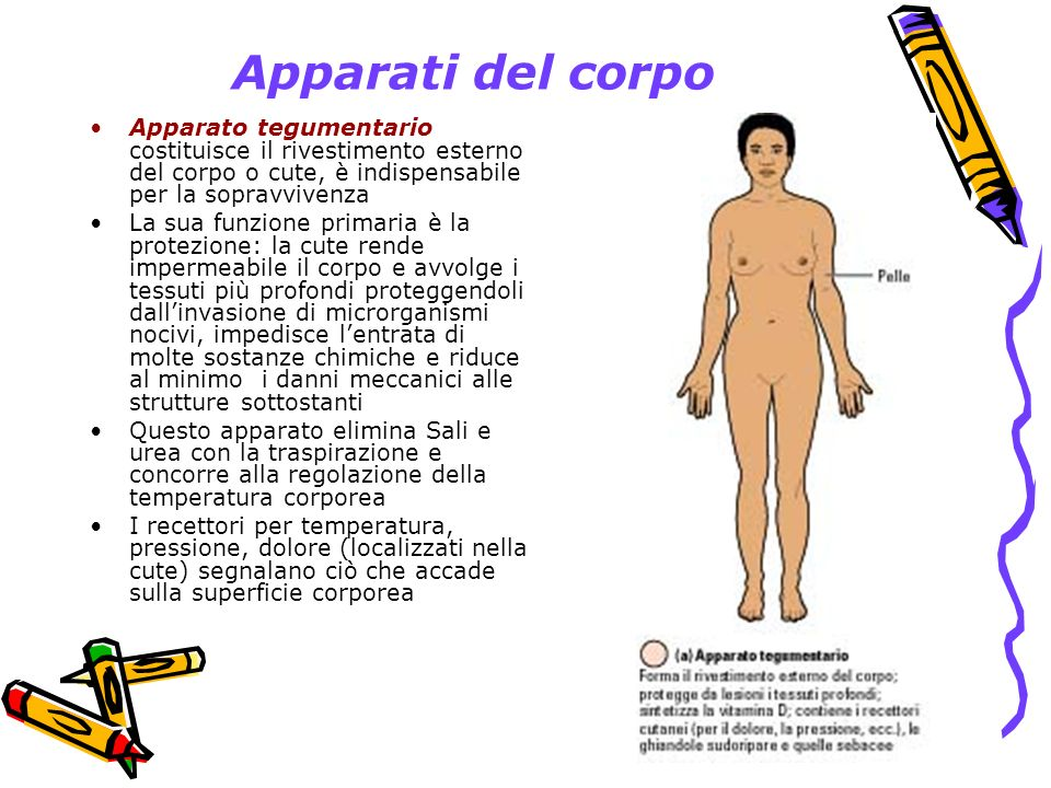 Apparati del corpo Apparato tegumentario costituisce il rivestimento esterno del corpo o cute, è indispensabile per la sopravvivenza.