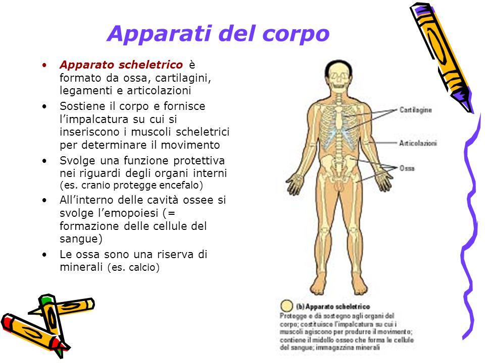Apparati del corpo Apparato scheletrico è formato da ossa, cartilagini, legamenti e articolazioni.
