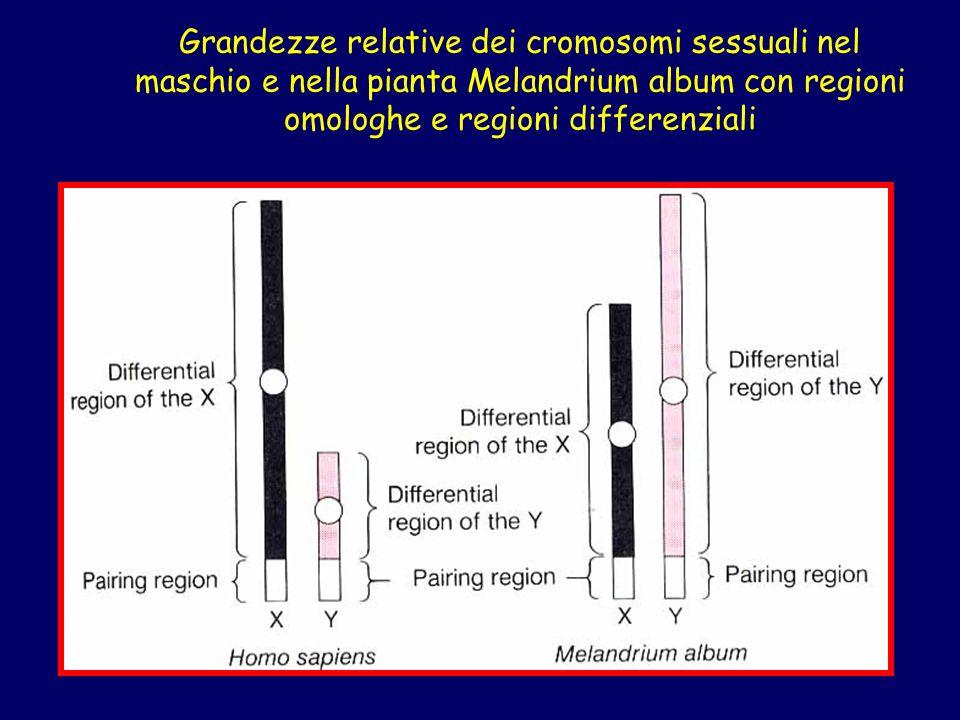 Grandezze relative dei cromosomi sessuali nel maschio e nella pianta Melandrium album con regioni omologhe e regioni differenziali