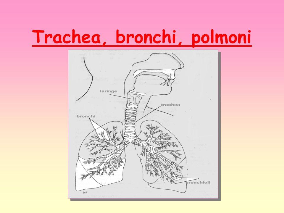 Trachea, bronchi, polmoni