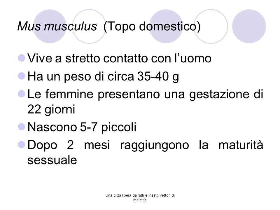 Mus musculus (Topo domestico)