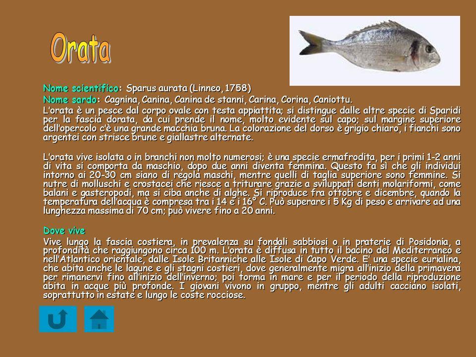 Orata Nome scientifico: Sparus aurata (Linneo, 1758)