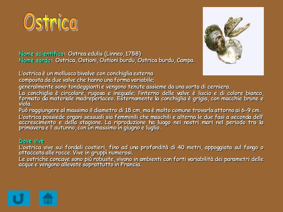 Ostrica Nome scientifico: Ostrea edulis (Linneo, 1758)