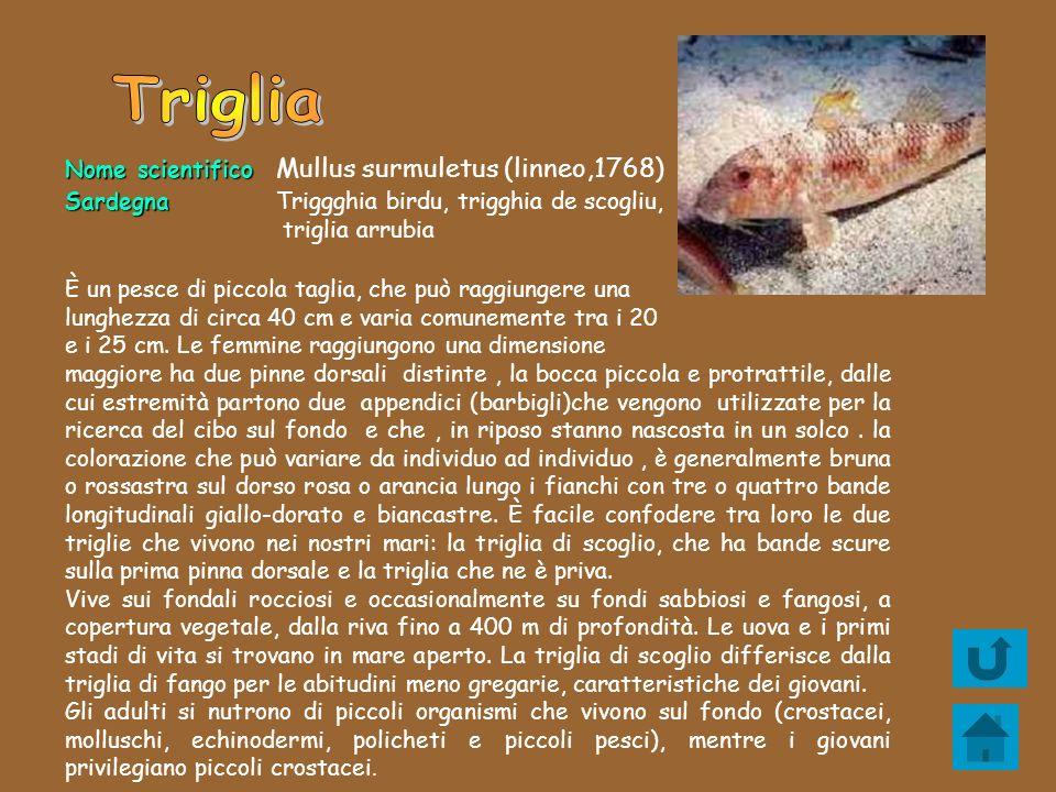 Triglia Nome scientifico Mullus surmuletus (linneo,1768)