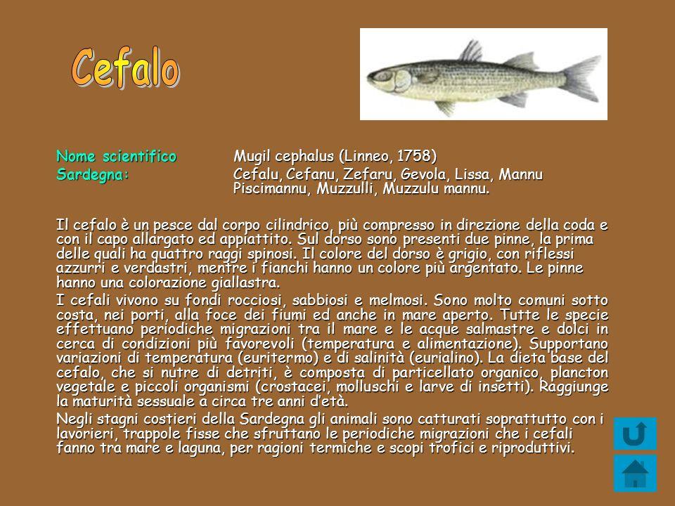 Cefalo Nome scientifico Mugil cephalus (Linneo, 1758)