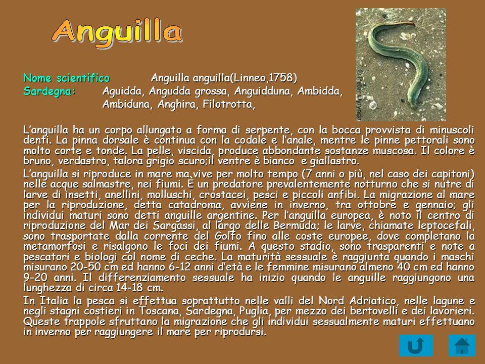 Anguilla Nome scientifico Anguilla anguilla(Linneo,1758)