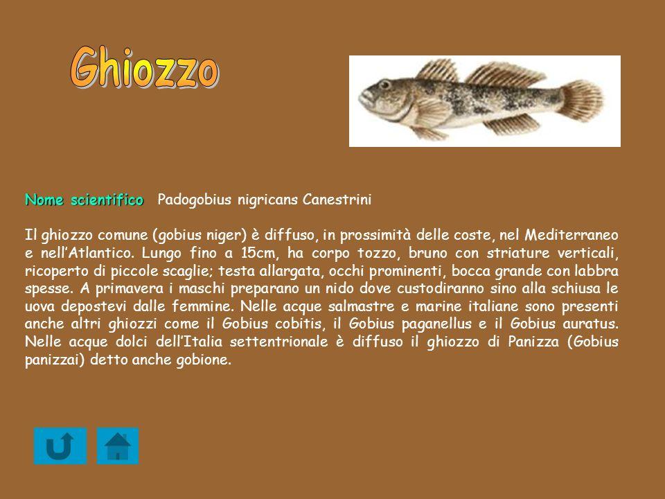 Ghiozzo Nome scientifico Padogobius nigricans Canestrini
