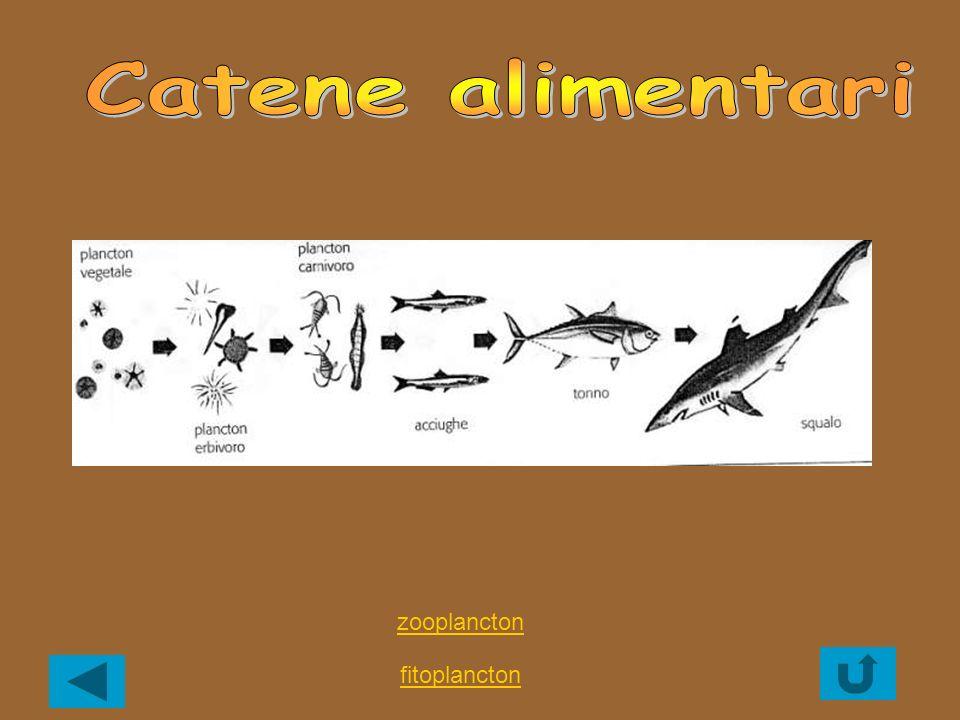 Catene alimentari zooplancton fitoplancton