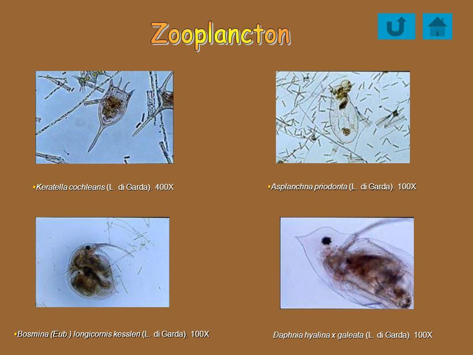 Zooplancton Keratella cochlearis (L. di Garda). 400X