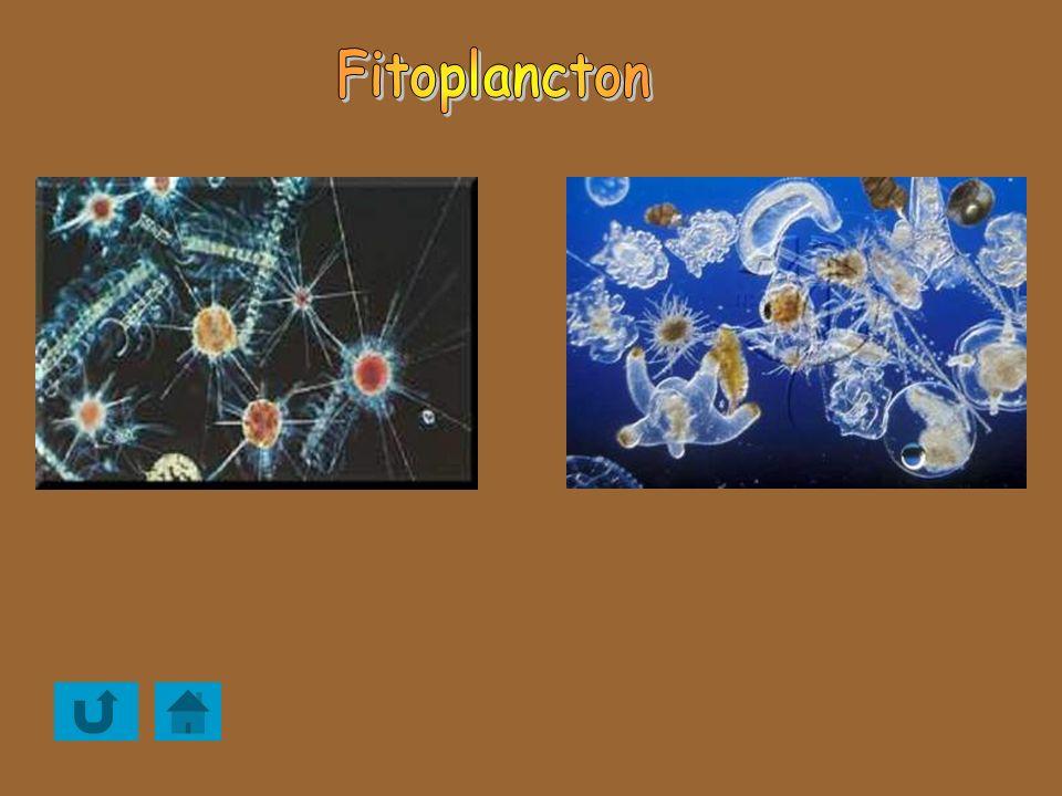 Fitoplancton Asplanchna priodonta (L. di Garda). 100X