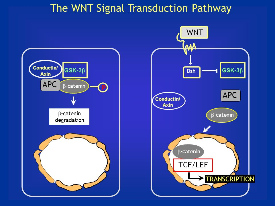 The WNT Signal Transduction Pathway