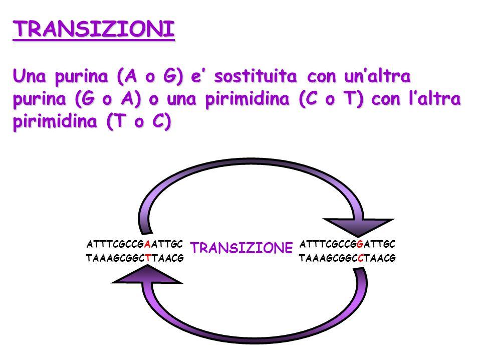 TRANSIZIONI Una purina (A o G) e' sostituita con un'altra purina (G o A) o una pirimidina (C o T) con l'altra pirimidina (T o C)