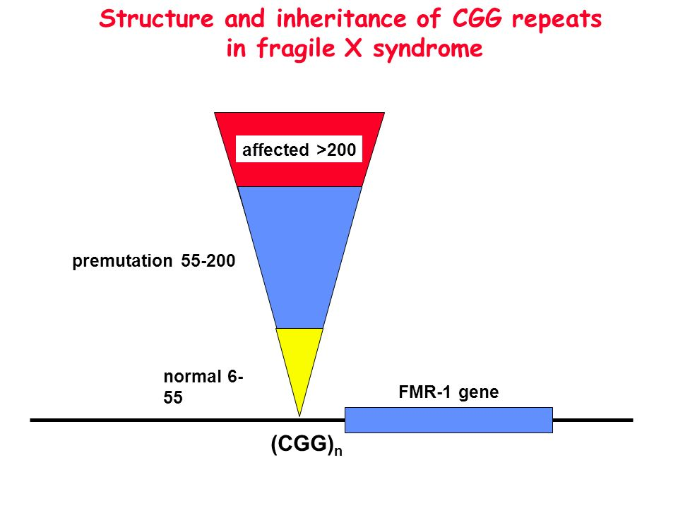 Structure and inheritance of CGG repeats in fragile X syndrome