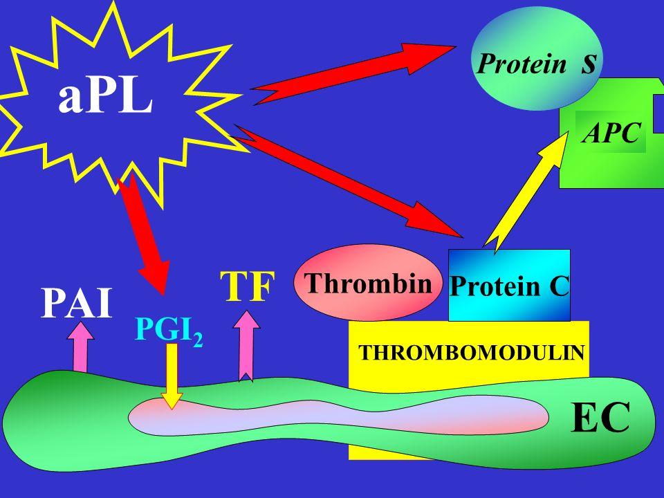 Protein s aPL APC Thrombin Protein C TF PAI PGI2 THROMBOMODULIN EC