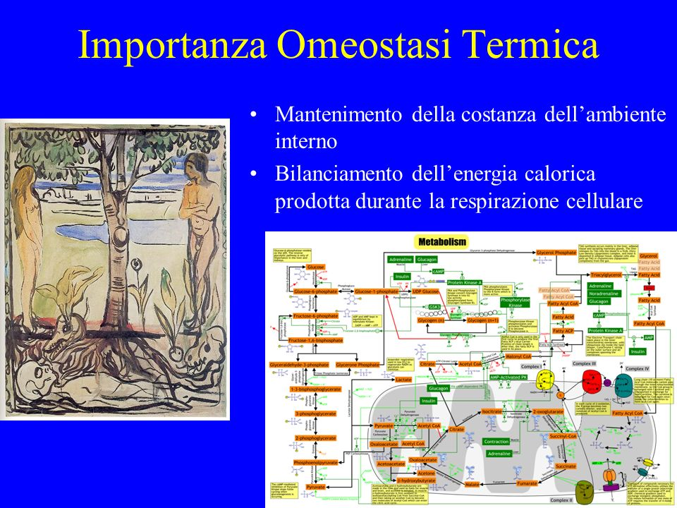 Importanza Omeostasi Termica