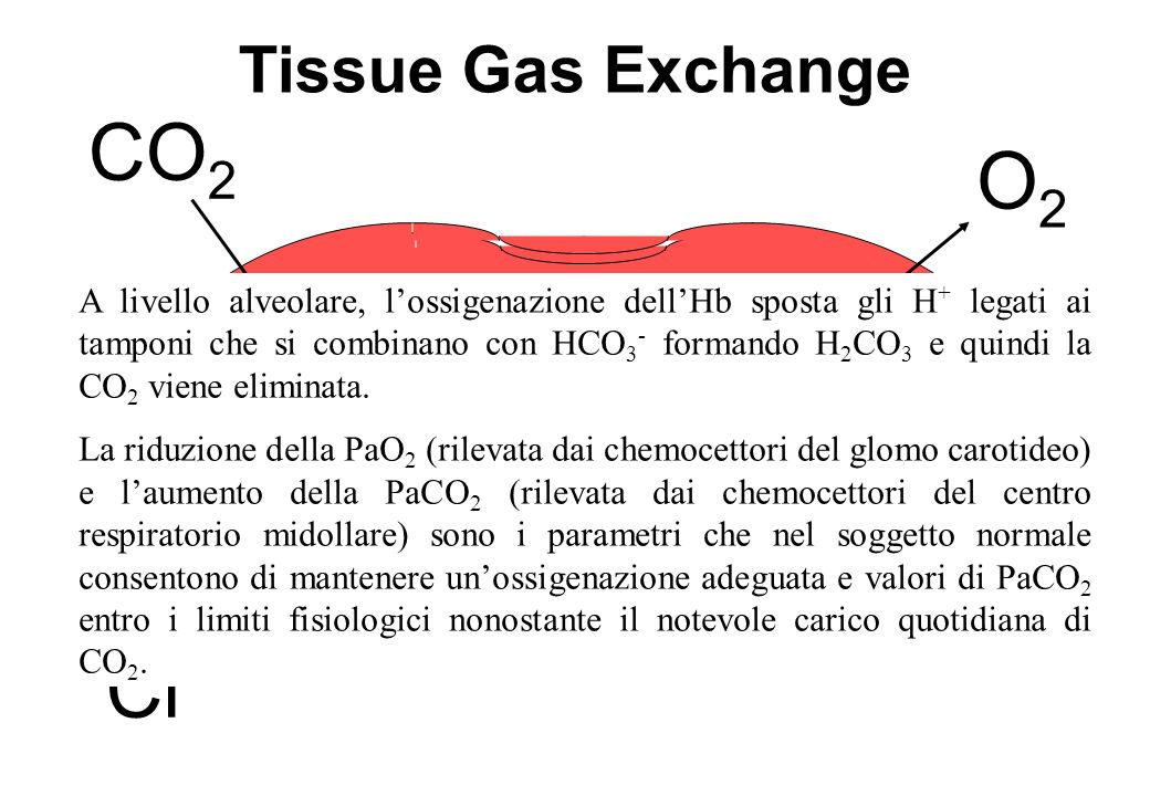 CO2 O2 CO2 H+Hb+O2 HCO3-+H+ H++HbO2 Cl- Tissue Gas Exchange