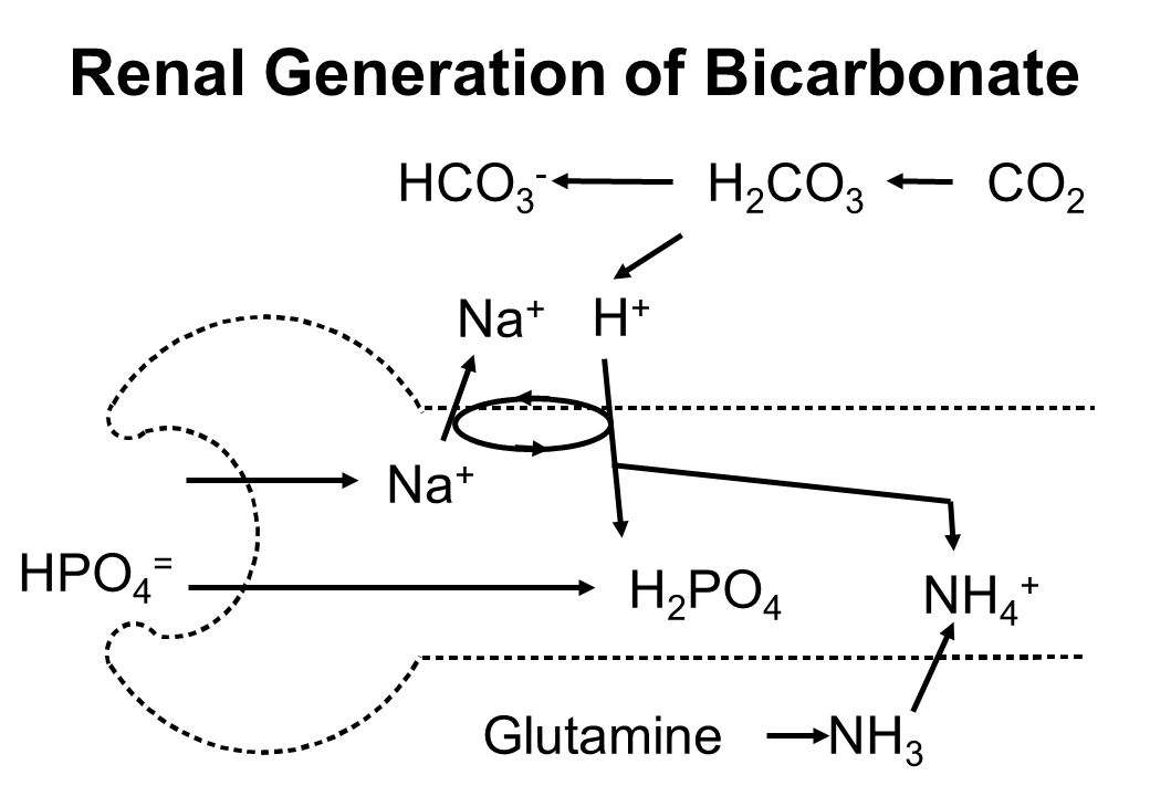 Renal Generation of Bicarbonate
