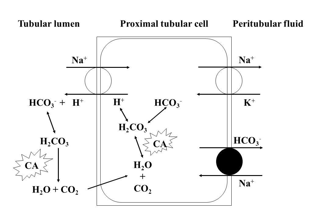 CA Na+ HCO3- HCO3- + H+ H2O + CO2 K+ H2CO3 Tubular lumen Proximal tubular cell Peritubular fluid