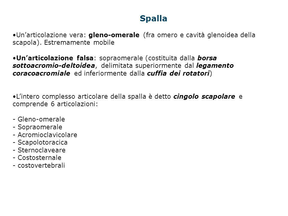 Spalla Un'articolazione vera: gleno-omerale (fra omero e cavità glenoidea della scapola). Estremamente mobile.