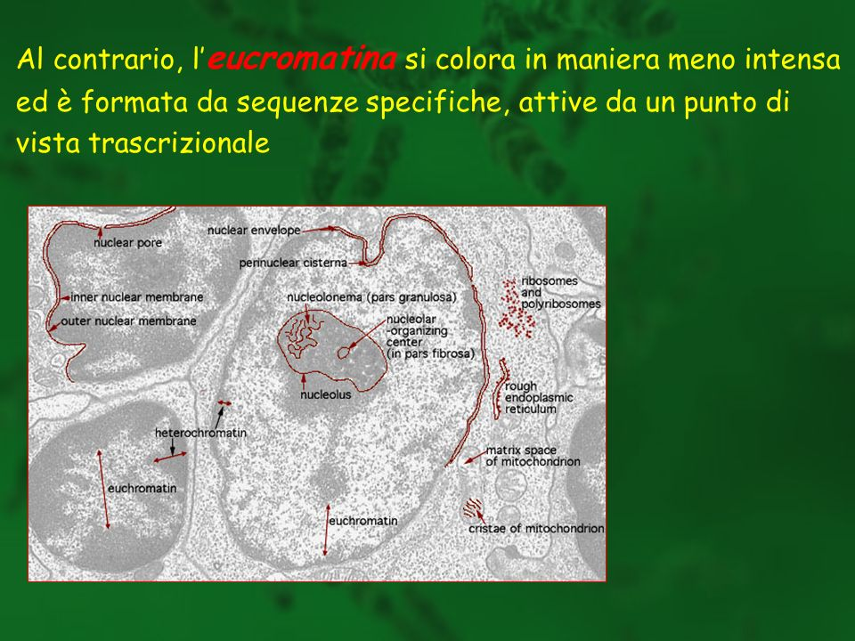 Al contrario, l'eucromatina si colora in maniera meno intensa