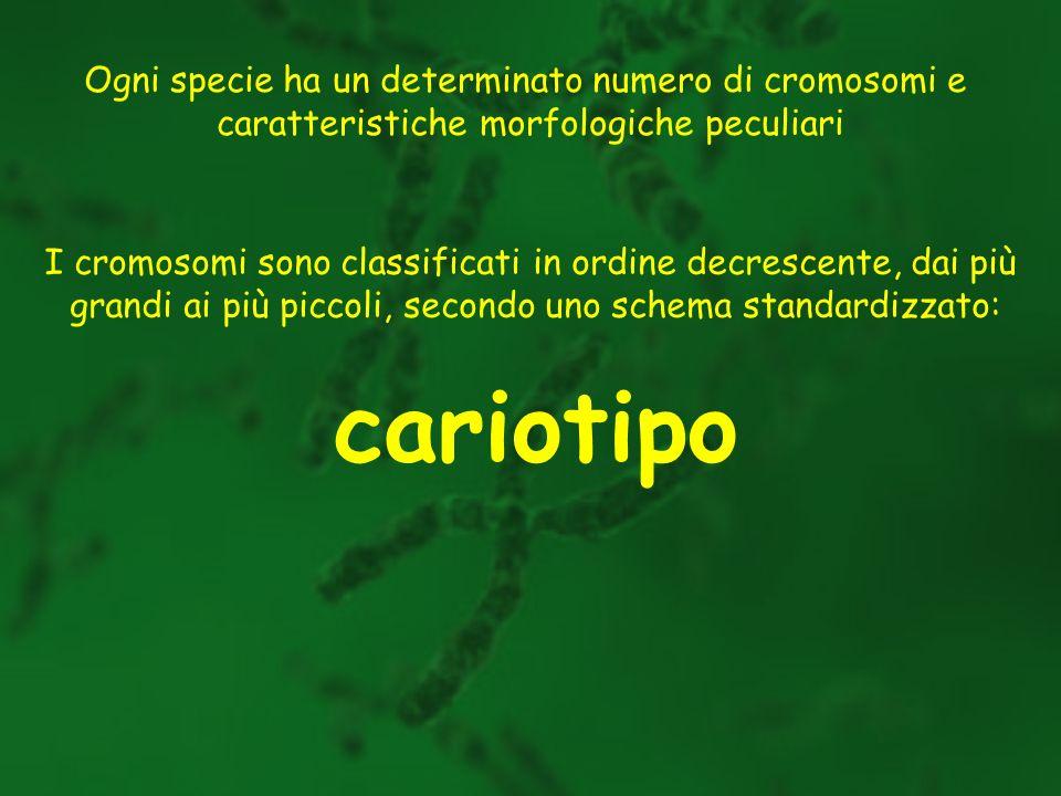 cariotipo Ogni specie ha un determinato numero di cromosomi e