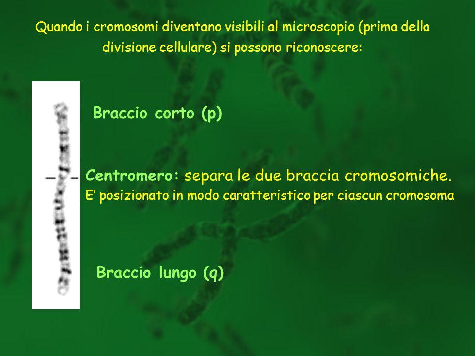 Centromero: separa le due braccia cromosomiche.