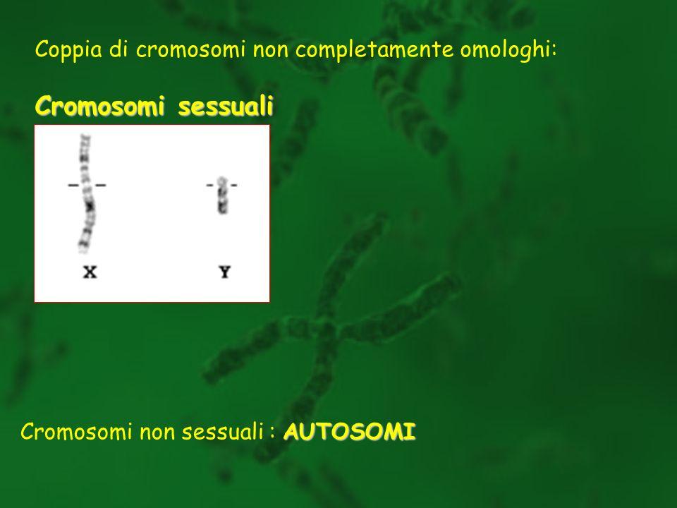 Cromosomi sessuali Coppia di cromosomi non completamente omologhi: