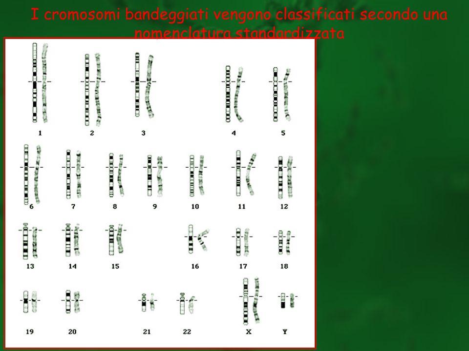 I cromosomi bandeggiati vengono classificati secondo una nomenclatura standardizzata