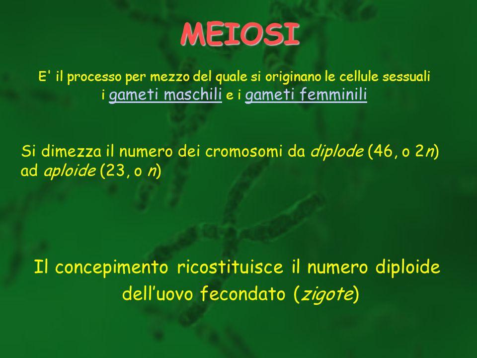 MEIOSI Il concepimento ricostituisce il numero diploide