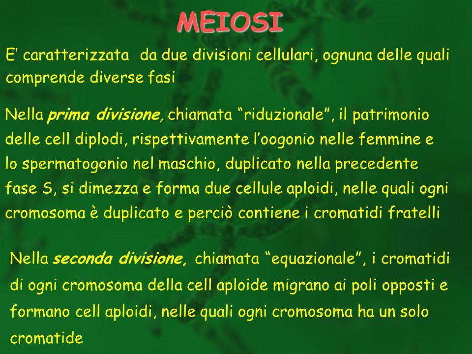 MEIOSI E' caratterizzata da due divisioni cellulari, ognuna delle quali. comprende diverse fasi.