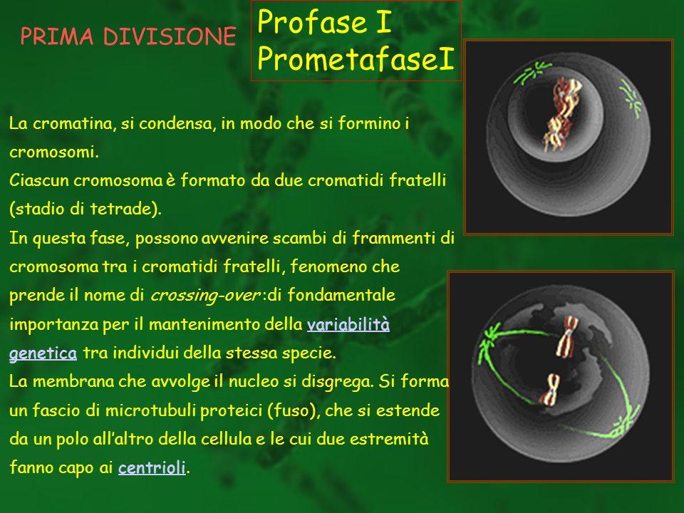 Profase I PrometafaseI PRIMA DIVISIONE