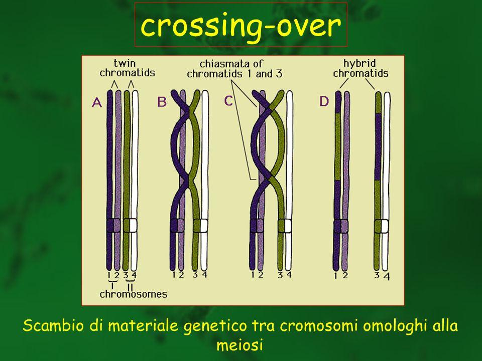 Scambio di materiale genetico tra cromosomi omologhi alla