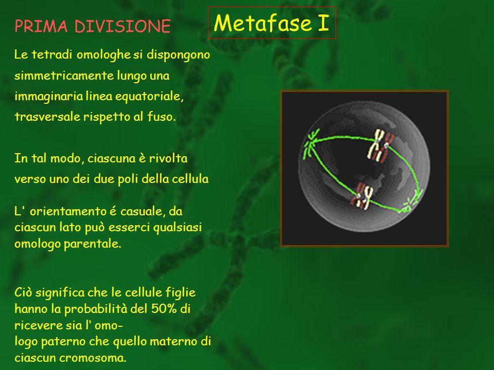 Metafase I PRIMA DIVISIONE