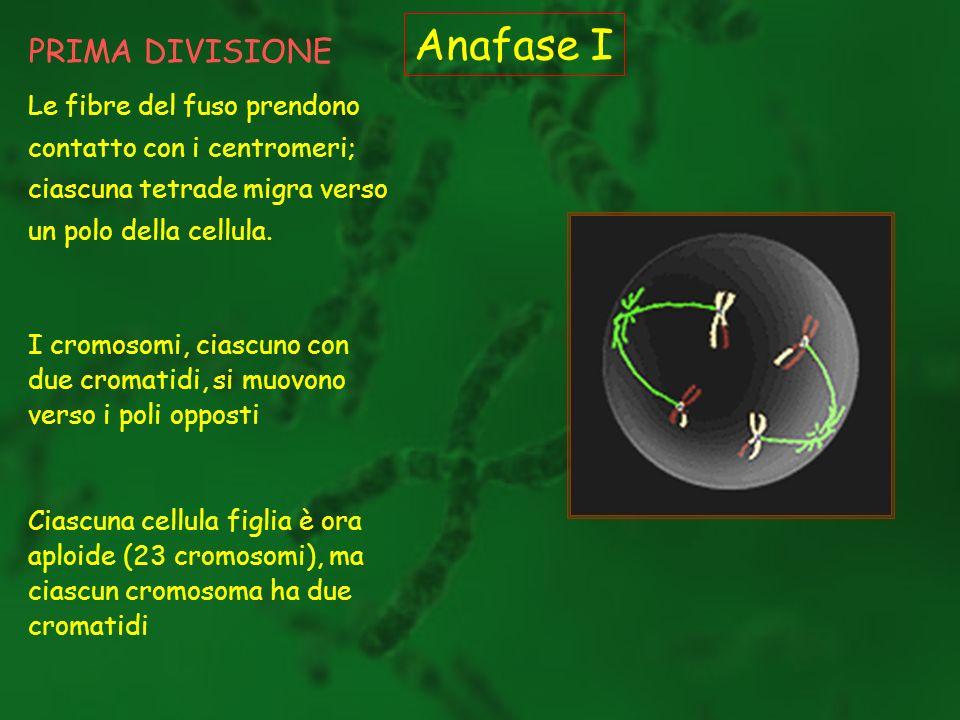 Anafase I PRIMA DIVISIONE
