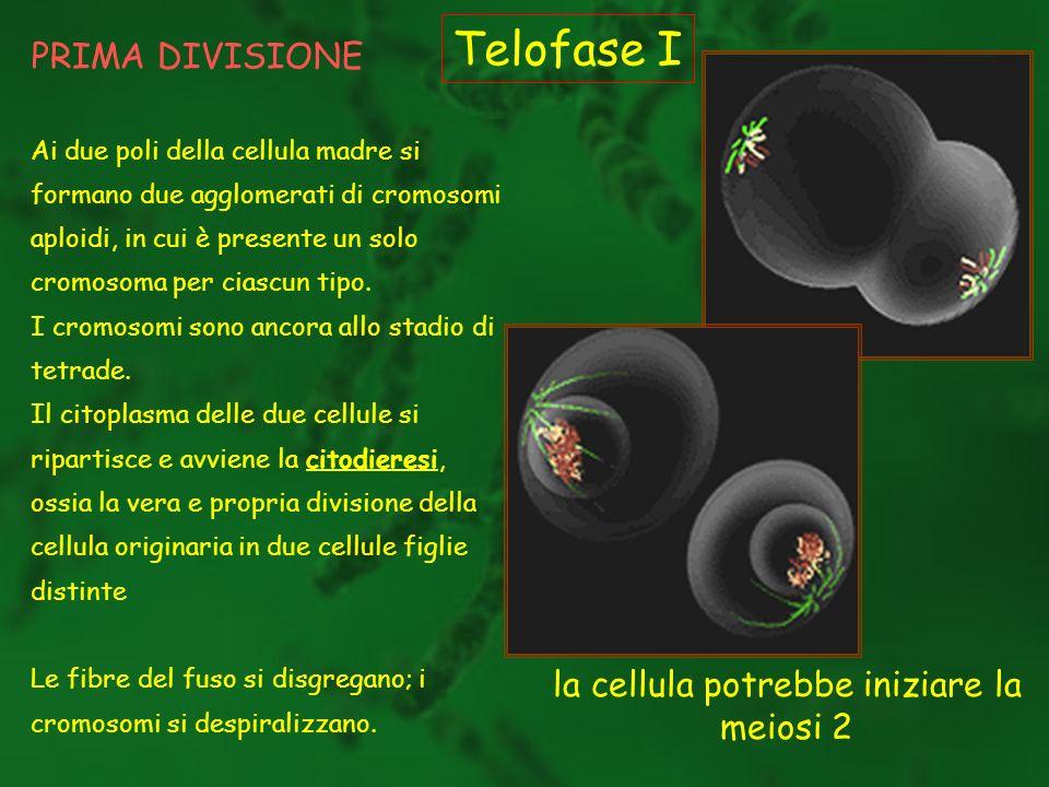 la cellula potrebbe iniziare la meiosi 2