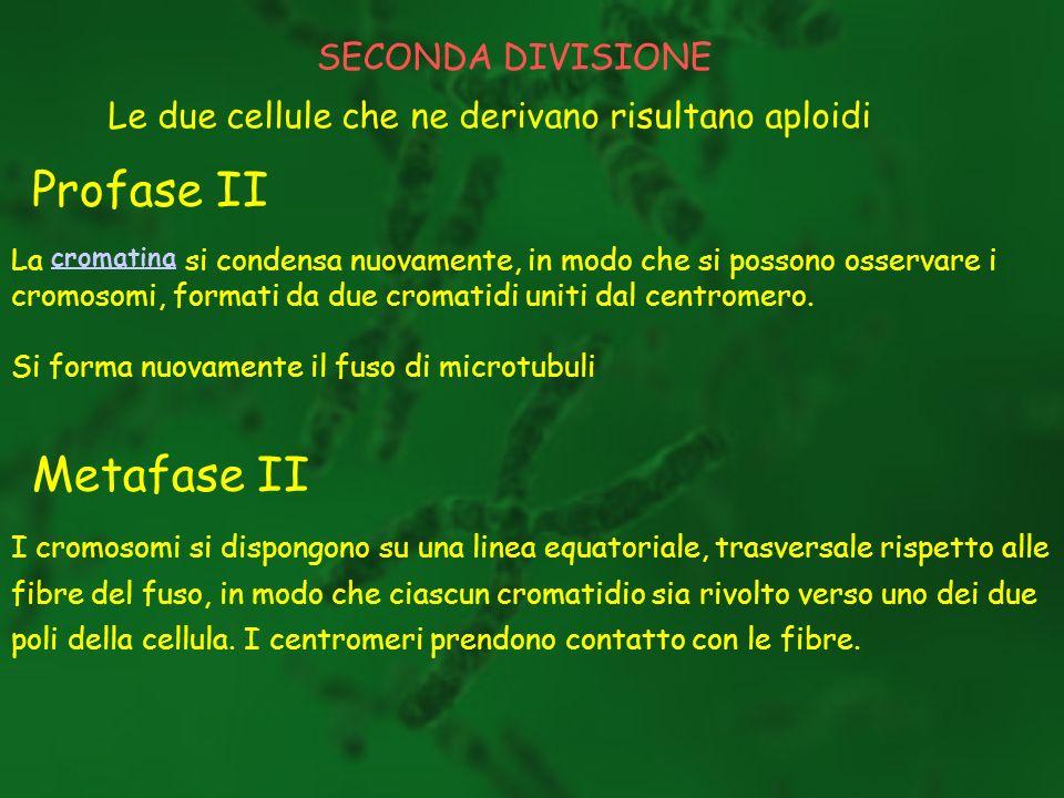 Profase II Metafase II SECONDA DIVISIONE