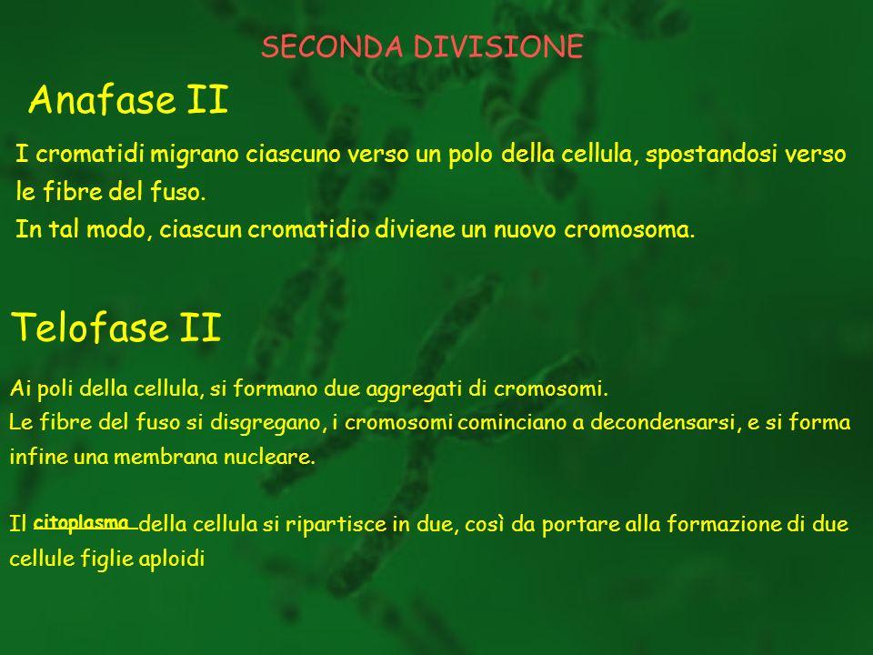 Anafase II Telofase II SECONDA DIVISIONE