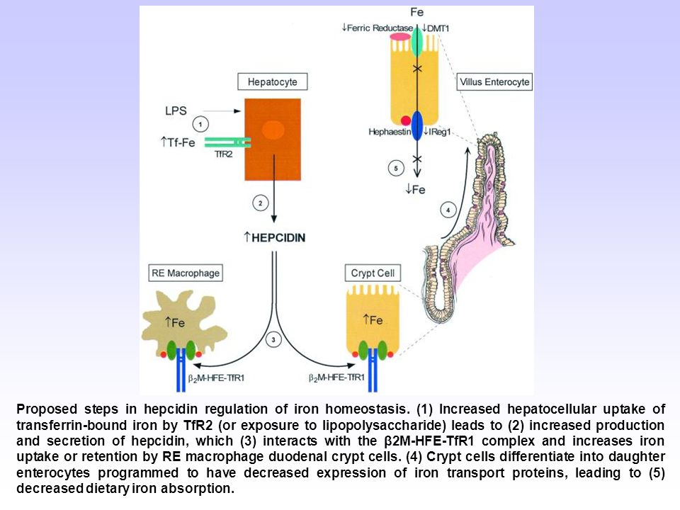 Proposed steps in hepcidin regulation of iron homeostasis