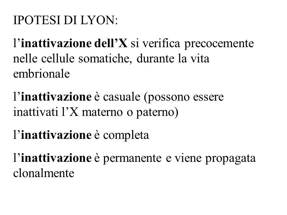 IPOTESI DI LYON: l'inattivazione dell'X si verifica precocemente nelle cellule somatiche, durante la vita embrionale.
