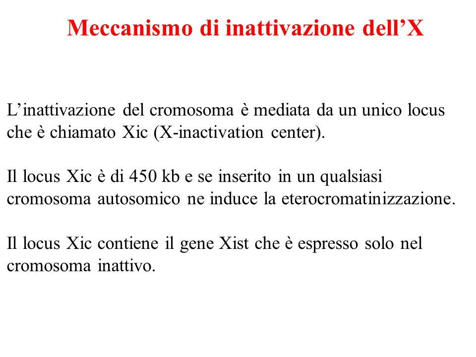 Meccanismo di inattivazione dell'X