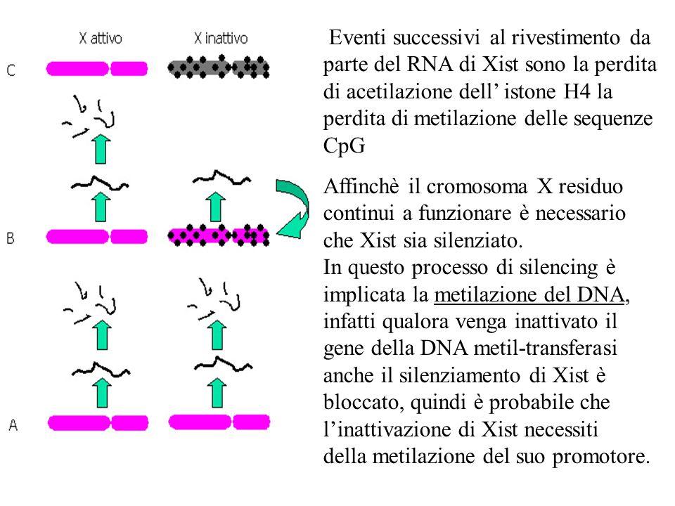 Eventi successivi al rivestimento da parte del RNA di Xist sono la perdita di acetilazione dell' istone H4 la perdita di metilazione delle sequenze CpG