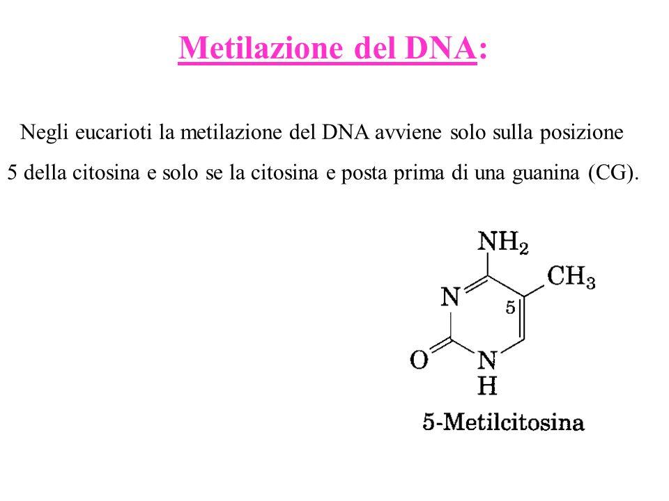 Negli eucarioti la metilazione del DNA avviene solo sulla posizione