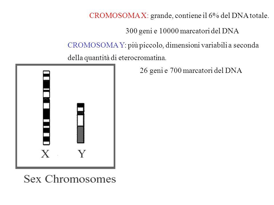 CROMOSOMA X: grande, contiene il 6% del DNA totale.