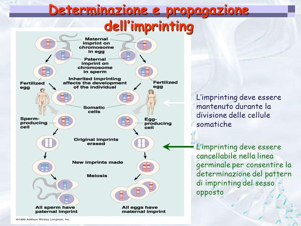 Determinazione e propagazione dell'imprinting