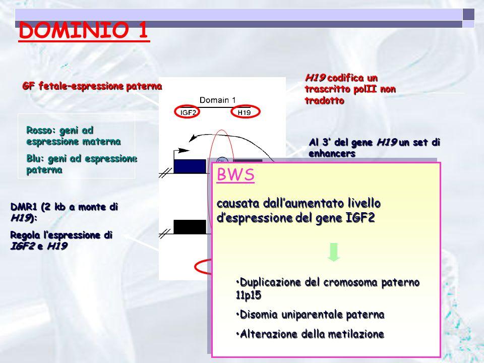DOMINIO 1 H19 codifica un trascritto polII non tradotto. GF fetale–espressione paterna. Al 3' del gene H19 un set di enhancers.