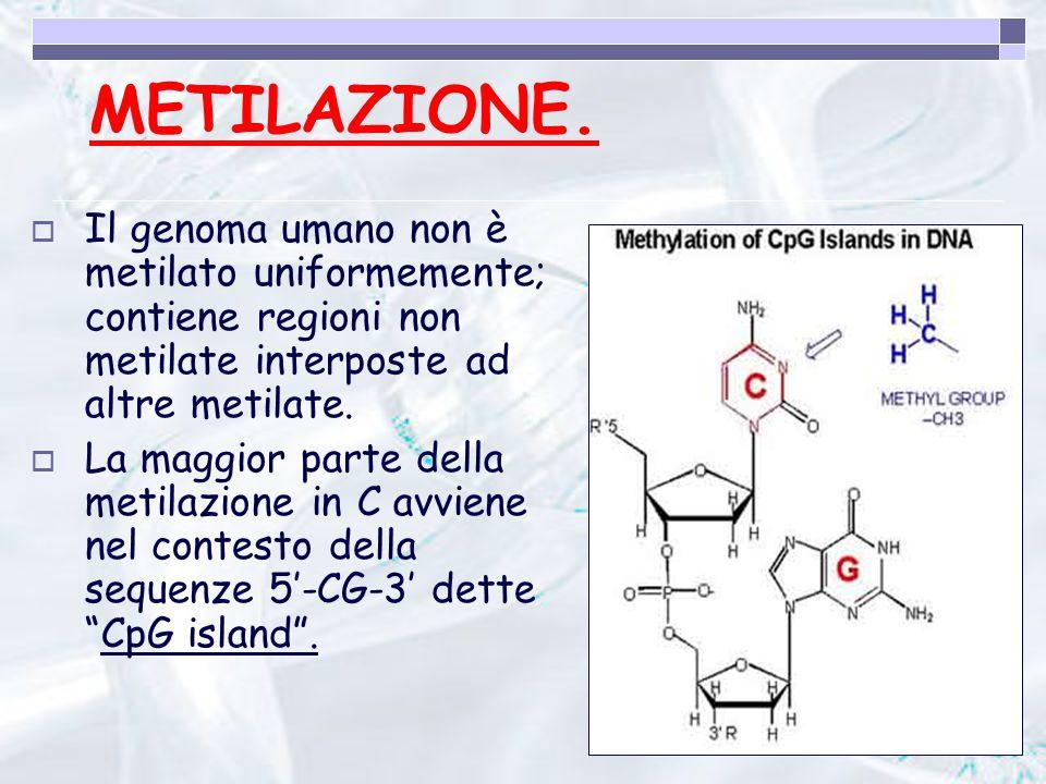 METILAZIONE. Il genoma umano non è metilato uniformemente; contiene regioni non metilate interposte ad altre metilate.