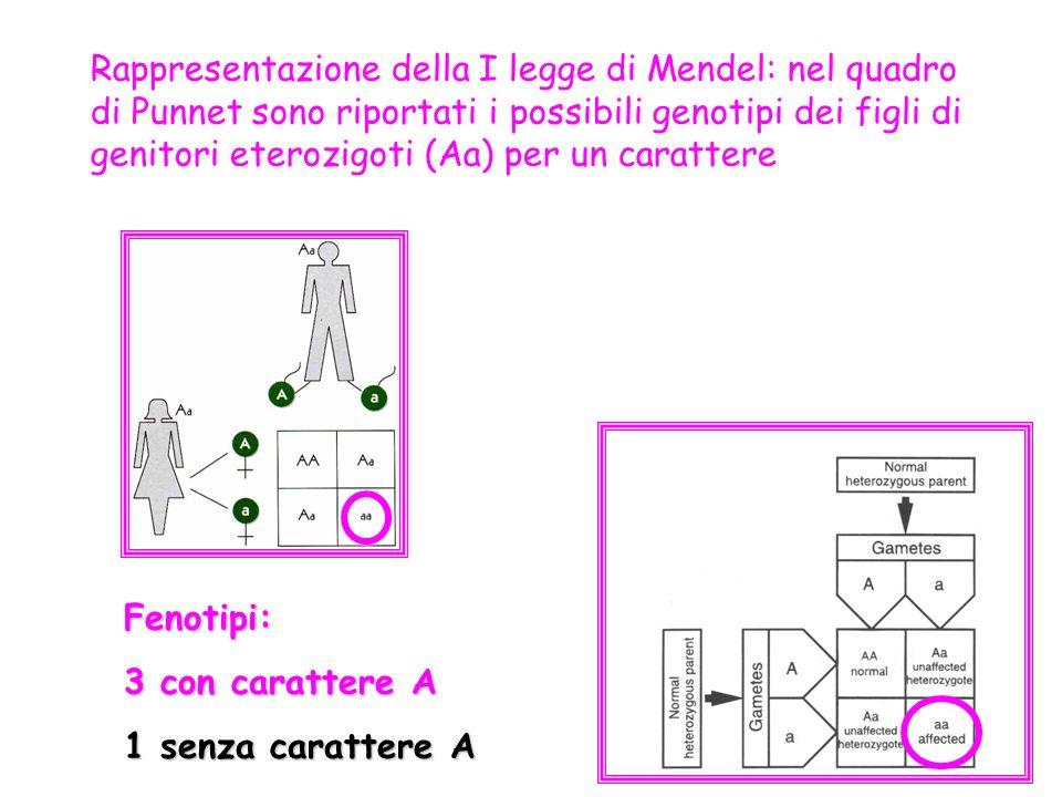 Rappresentazione della I legge di Mendel: nel quadro di Punnet sono riportati i possibili genotipi dei figli di genitori eterozigoti (Aa) per un carattere